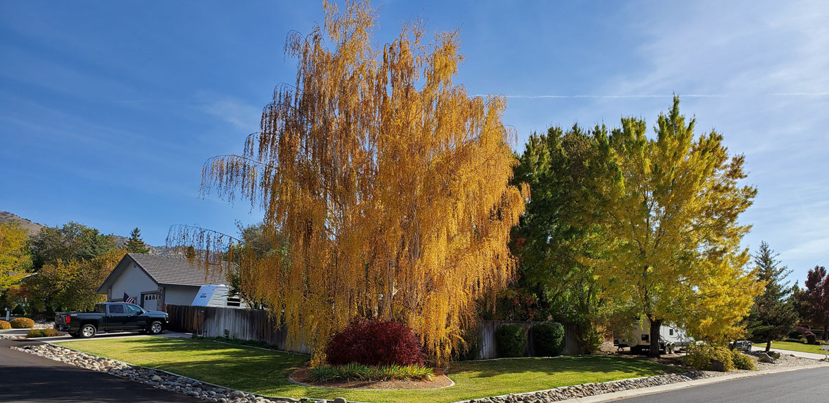Birch tree in full color in Reno. Awesome!