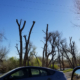 Topped trees that have been permanently damaged
