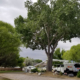 Pruning a healthy cottonwood tree and very healthy willow.