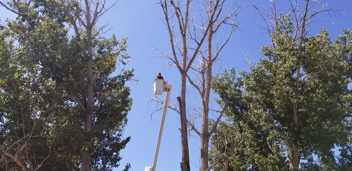 Removing deadwood from large poplars and shaping.
