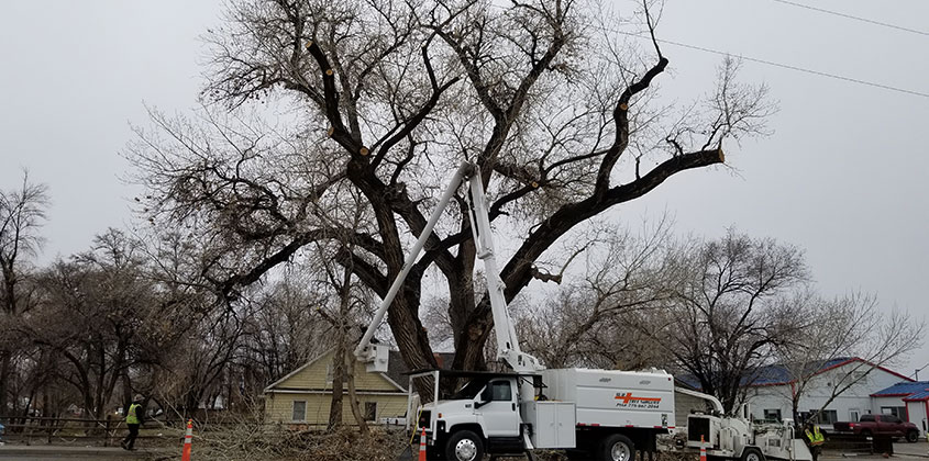 100 year old cottonwood hazardous pruning