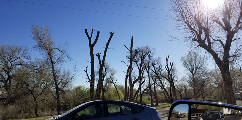 topped and permanently damaged trees
